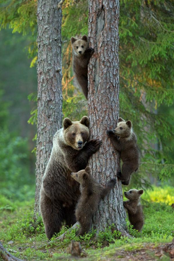 bears up a tree