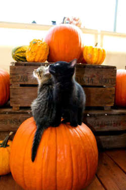 cats on a pumpkin