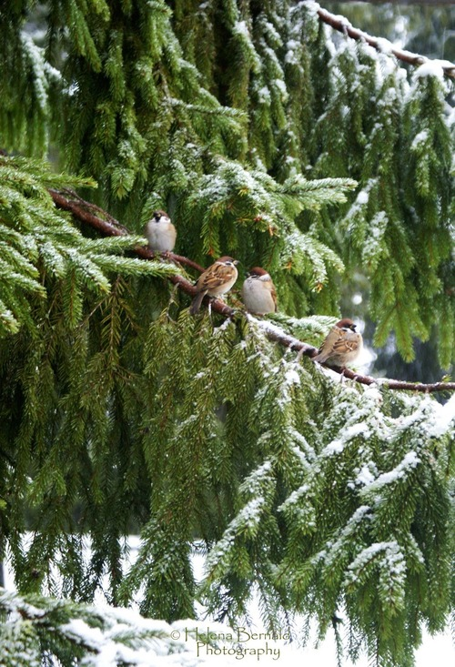 birds on pine tree
